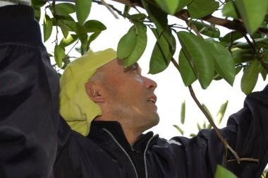 りんご栽培のプロの方、今日は八朔で一汗流して