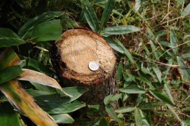 刈払い機で伐った切り株