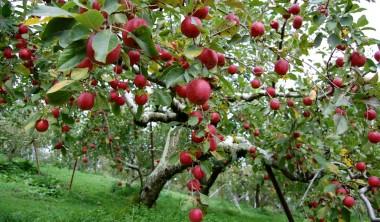 みごとなリンゴ園