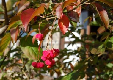 庭のマユミの実