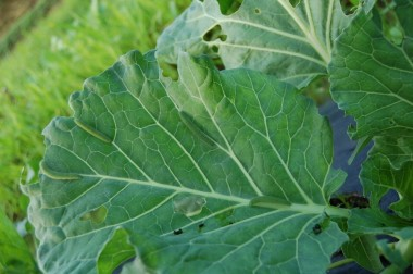自然農法で栽培したキャベツにアオムシは何匹?