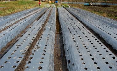 自然農法でニンニクの植え付け