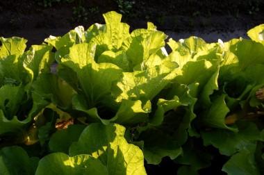 夕日に透ける白菜の葉