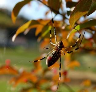 真弓の木にいる蜘蛛が網を修理中