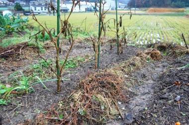 ナスの枯れ枝もえんどう豆の支柱に利用