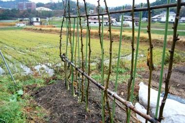 収穫の終わったオクラの幹をえんどう豆の支柱に