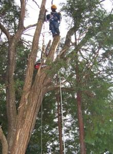 高所作業の様子、伐った枝の上に立てるほどの大きさ