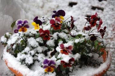 雪を被った軒下のビオラ