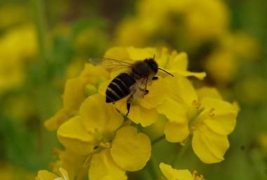 もうミツバチが活動