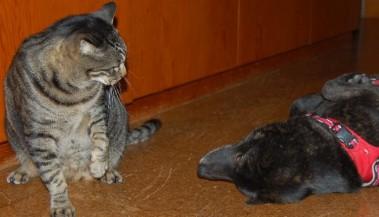 「遊ぼう!」とすり寄る犬、ネコはパンチの準備