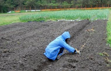 雨の中一人黙々とジャガイモの植付
