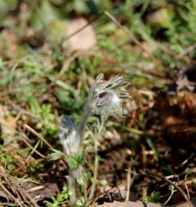 今年も芽が出たオキナ草、絶滅危惧種の山野草、キンポウゲ科の多年草で毎年早春に楽しめる花