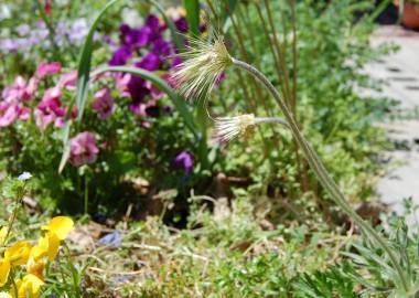 花びらが散ったオキナ草