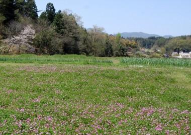 ニンニク畑のレンゲの花