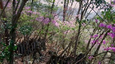 椎茸山のツツジ,木立の中のあるのがすきです