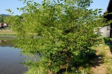 マユミの樹