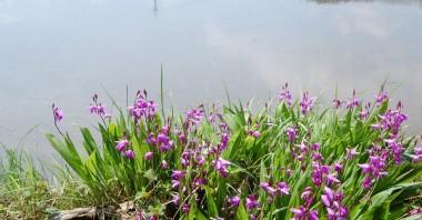 庭のシランが見ごろに、後は田植前の水田