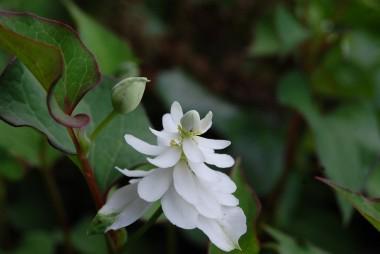 軒下で咲いているドクダミの花