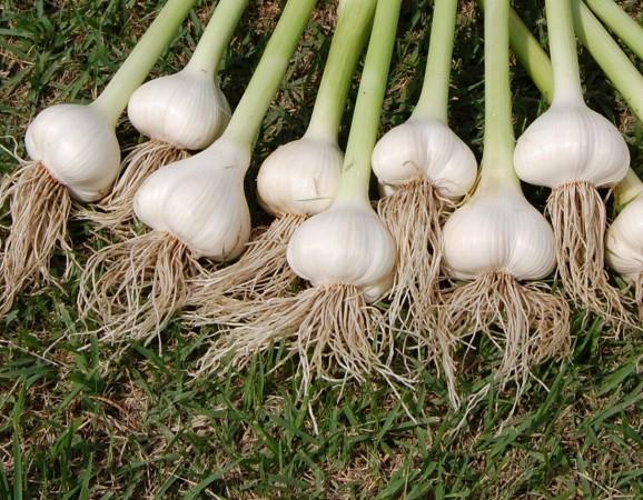 無農薬、無化学肥料で今年も元気に育ったニンニク