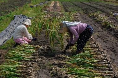ニンニク収穫、タカちゃんの応援で全部抜き取り