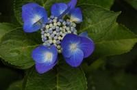 庭の色鮮やかな紫陽花
