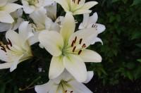 建物周辺には多種類の花が咲いている(カサブランカ?)