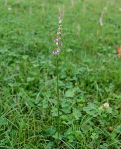 草原のネジ花