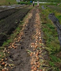 無農薬、無化学肥料で育った玉ネギを引抜いて畝の上で一日乾燥後取込む