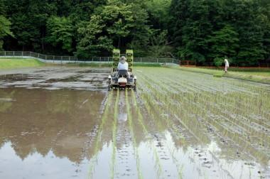 無農薬、無科学肥料栽培7年目の田んぼで今年最後の田植