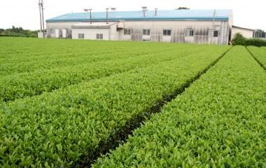 茶畑の中には製茶工場があちこちに見える、美味しいお茶を入れていただきお土産まで
