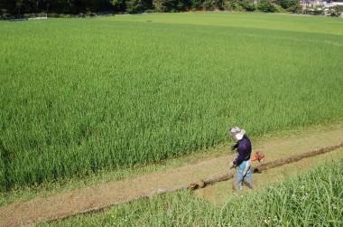 昼前に田んぼに行ったら松さんが一人でアゼ草を刈り