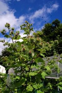 3m近くに育ったゴボウの木(茎)