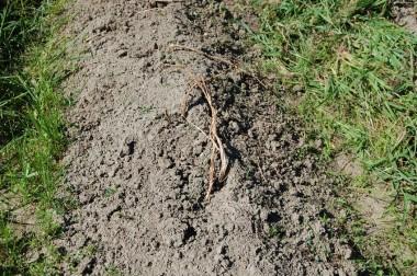 草取りするとすっかり枯れたジャガイモの茎が見えた