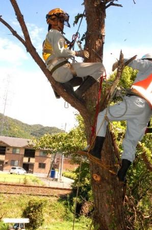 小郡 ザイルで安全を確保してから伐木を行う