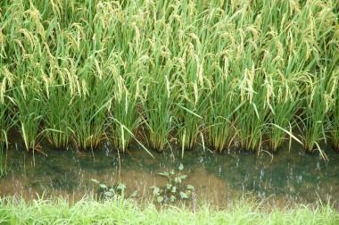 2 米糠+鶏糞+冬季湛水+無除草