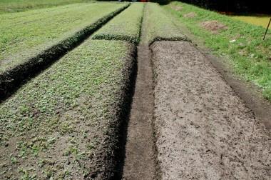 右の畝はバーナーで草を焼いた直後の様子