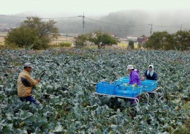 早朝の収穫作業
