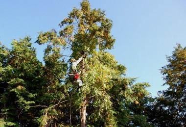 講師は桧のてっぺん近くまで登り実演
