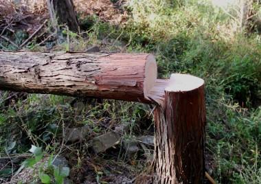 スパッと切り離さないこの伐り方です