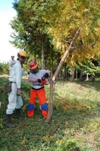 捨て間伐の場合の斜め切り(ケサ切り)の指導