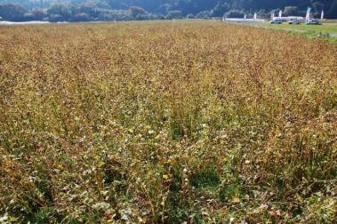 近くではソバの実が収穫を向かえて