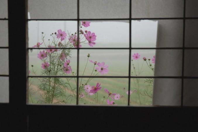 朝食時に破れ障子から見る霧の中のコスモス