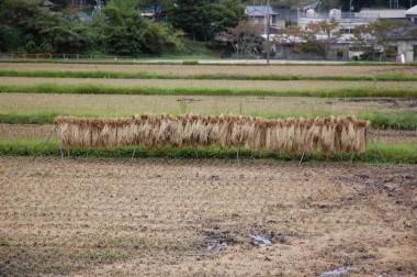 畑で使うためにバインダーで刈取った稲ワラを天日干し