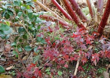堆肥小屋の横でべらぼうに大きくなった山ゴボウの茎と剛さんが植えてくれた紅葉と椿の苗