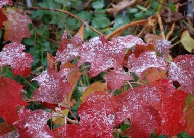 紅葉にうっすらと雪化粧
