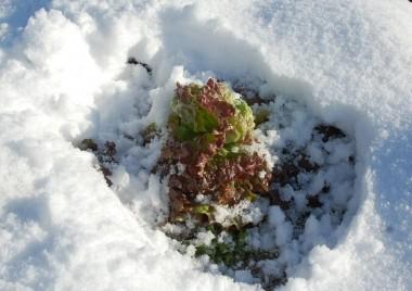 サニーレタスも雪を掘って収穫