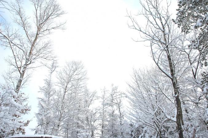 裏山の雪をかぶった樹