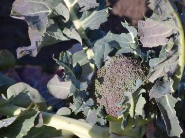 去年の春植付、夏と秋にそして今回で三回目の収穫