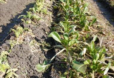 右の小松菜はすっかり大松菜に、左は大根に土をかけて凍結防止