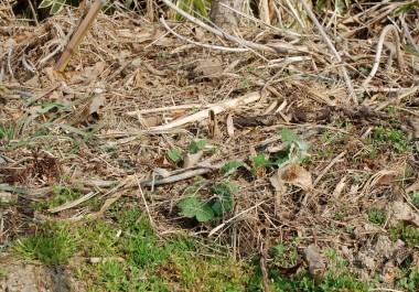 この葉っぱを目印に自然生えのゴボウを掘ります